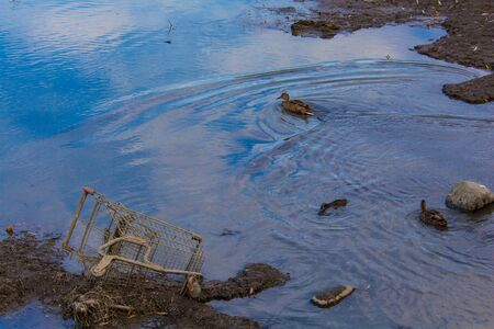 Two female mallard ducks are swimming in a shallow creek as they pass by a discarded shopping cart from a grocery supermarket. The basket is tipped on its side in the mud at the edge of the water. Stock fotó