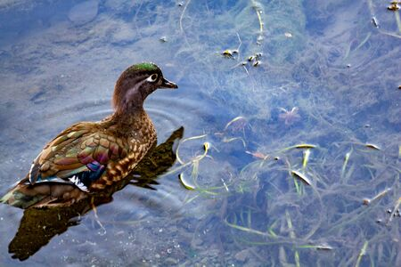 A female wood duck (Aix sponsa) swims in shallow water in a draining canal. Areas of vibrant coloring brighten her otherwise brown feathers. Stock fotó