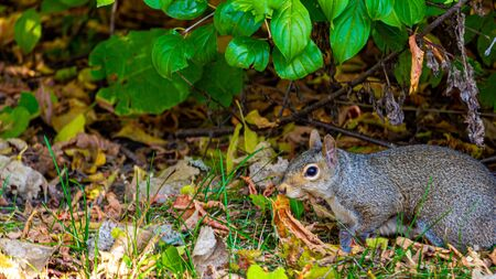 An eastern gray squirrel walks slowly on the grass under some low-lying plants. With leaves on the ground in autumn, it proceeds with caution as it searches for food.