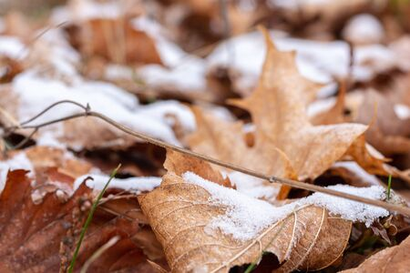 As the season begins to change, the first signs of winter emerge as a light snowfall has left deposits of white snow on top of dried up maple leaves. Stock fotó