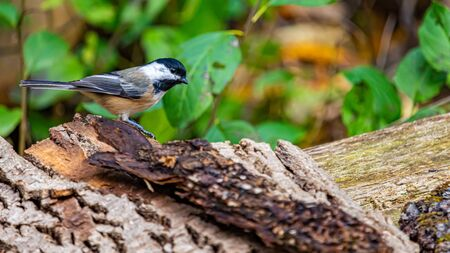 A chickadee is standing on bark from a fallen tree, on the edge of a wooden bench. The length of its body is seen, along with its profile, as it looks to the right. Forest foliage is seen behind. Stock fotó