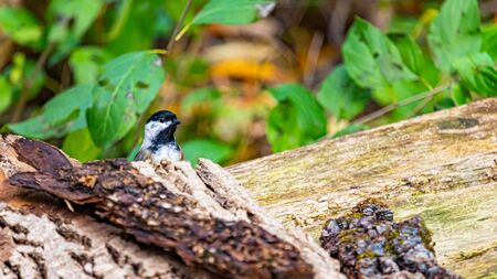 A black-capped chickadee is standing on a wooden bench where some tree bark has fallen. It peeks its head out from its hiding spot, curious about noises nearby. Stock fotó
