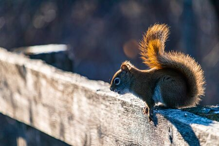 An American red squirrel leans forward from its perch on a sunlit wooden fence as it prepares to jump down onto the boardwalk below.