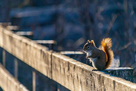An American red squirrel (Tamiasciurus hudsonicus) stands upright on its hind legs on a wooden fence at the edge of a boardwalk nature trail. Before a blurred winter background, snow dusts the wood.. Stock fotó