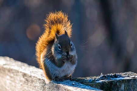 An American red squirrel sits upright on a wooden fence nibbling on sunflower seeds left out in the winter. Sunlight illuminates its bushy tail as the animal eats in front of a blurred background.