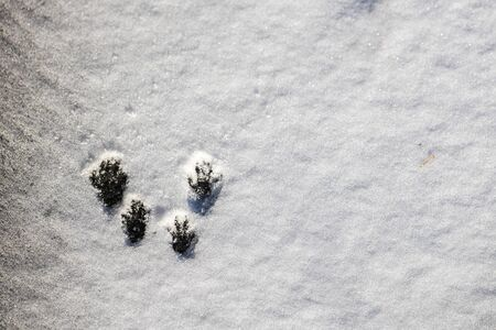 A single set of tracks of an American red squirrel bounding across the snow are seen from directly above. The white snow surface has the characteristic footprints of the rodents four paws.