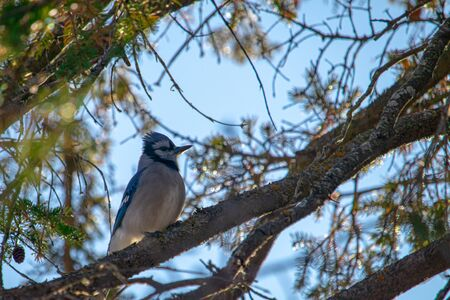 A blue jay is perched in an evergreen tree, surrounded by its lichen-covered branches, pine needles and pine cones against a blue sky. The bird sits upright, looking alert.
