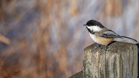 A black-capped chickadee perches on the post of a wooden fence in the wintertime. The bird has a small bit of snow on its beak as it looks to the side.