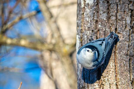 A white-breasted nuthatch descends the trunk of a tree head-first in the wintertime, as is typical with its feeding behavior. Alert, the bird looks up from its perch on the tree's bark.