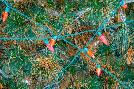 Red outdoor christmas lights on an outdoor evergreen pine tree cross each other's green wires across the orange and green needles and brown pinecones of the conifer.