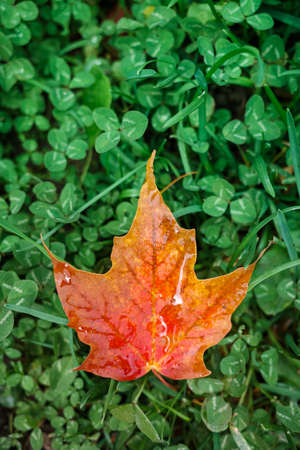A single red and orange maple leaf lies on the ground, on a bed of green clovers.