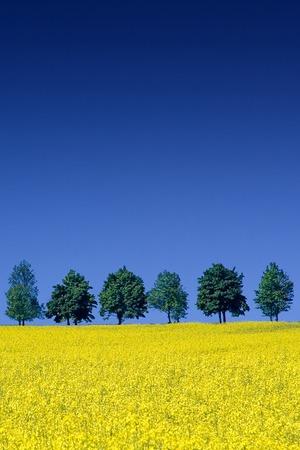 Idyllic landscape, row of green trees among rape fields, the blue sky in background