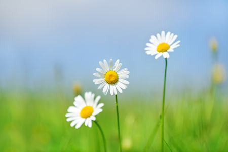 Beautiful camomiles on green field with blue sky and clouds in background