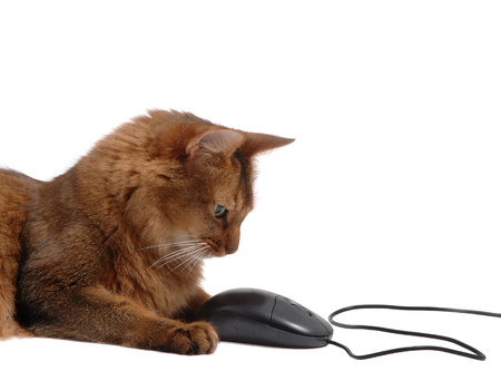 Beautiful somali cat with black computer mouse - isolated on white background