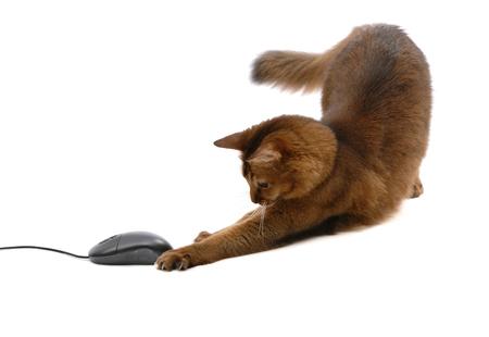 Beau chat somali avec souris d'ordinateur noir - isolé sur fond blanc Banque d'images