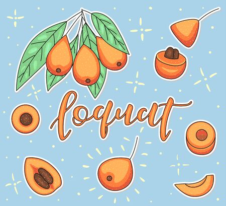 Loquat. Whole and pieces. Vector stock illustration. Colored fruit set using doodle art on blue background Lettering.
