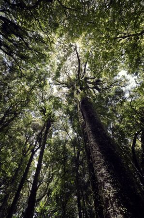 evolutionary: Looking up into the rainforest canopy at Goomburra Main Range National Park Queensland Australia  Goomburra is part of the Gondwana Rainforests of Australia World Heritage Area and represents a major stage of the earth s evolutionary history   It is an
