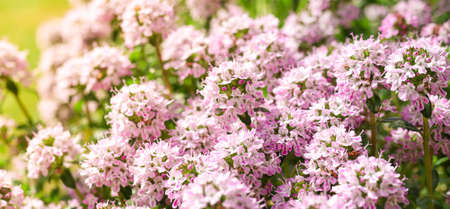 Spring thyme or thymus blooming, a spicy herb for use in cooking, part of the famous French provenc herbs Imagens