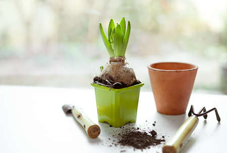 Hyacinth plant in a green plastic pot, garden tools and ceramic poto on the white table near the window - home gardening as a hobby and connecting with nature