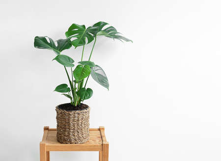 Monstera deliciosa in a wicker flower pot on a wooden table isolated on a white background close-up, minimalism and scandinavian style