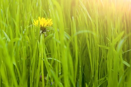 new-blown expanding dandelion in spring green grass