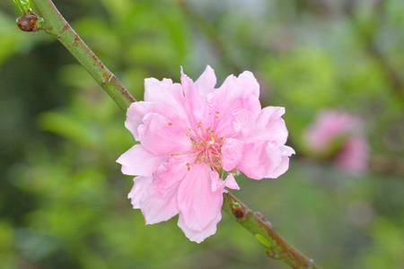Single pink sakura like flower on branches Reklamní fotografie