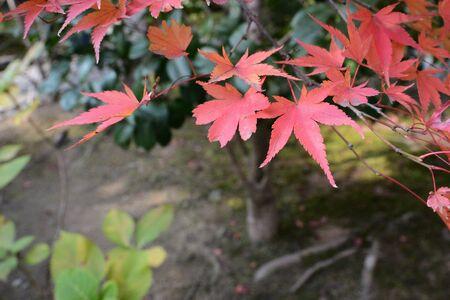 Red leaves in Japan garden on tree