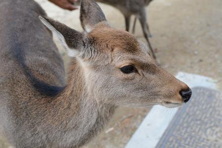 Deer in Japan Nara, macro, closed up in park