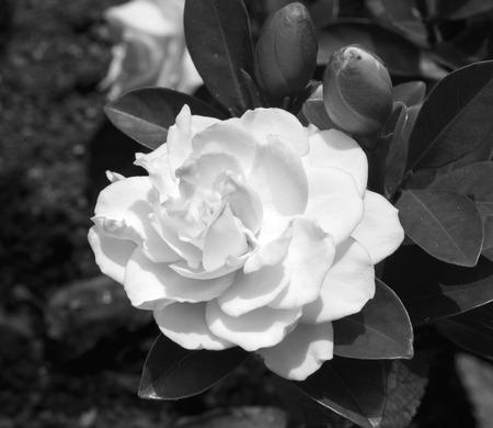 Flawless perfect white big Gardenia, RIP, black and white, B&W, BW