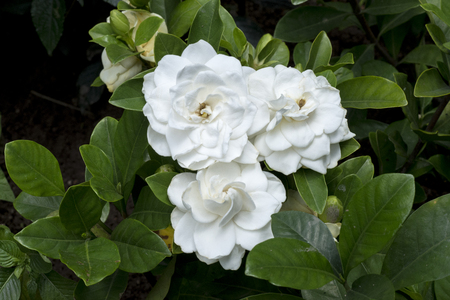Triple, three Flawless perfect white big Gardenia Reklamní fotografie - 79972512