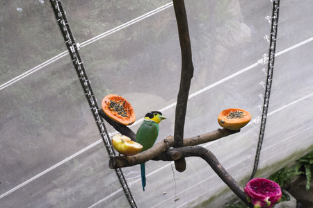 Caique (Green bird with black head ) eating in a big cage