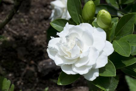 Flawless perfect white big Gardenia