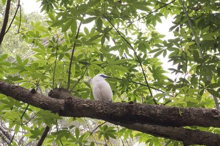 Bali Myna bird standing on branch