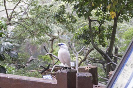 Bali Myna bird standing on braches