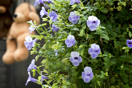 light purple Morning glory Reklamní fotografie