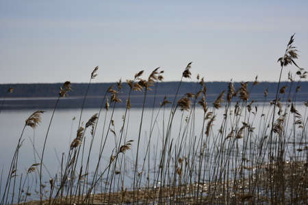 Stems and ears of dry grass against the backdrop of a clear lake and forest
