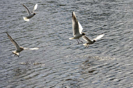 River gulls fly over the water searching for fish. Small ripples on the surface of the lake