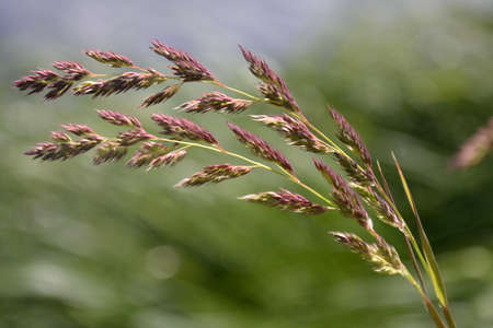 Inflorescences, stems and ears of meadow grass bent from the wind against a background of fresh green meadow 写真素材