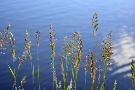 inflorescences and ears of field grasses against the blue water of the lake. natural background summer lake and meadow