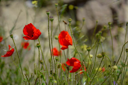Ravda Bulgaria. May 18 2014. Blooming scarlet poppies and burgeons in grass on blurred background.