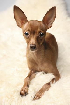 toyterrier: Little Dog