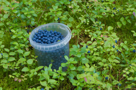 wildberry: The container full of fresh bilberry costs on a forest glade