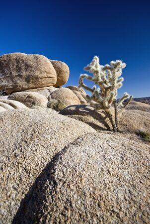 Cholla Cactus and Rocks Joshua Tree National Park
