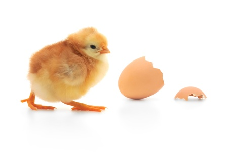 Chicken and an egg shell on white background photo