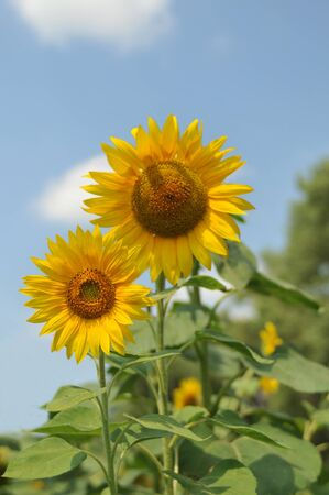 Two sunflowers against the blue summer sky photo