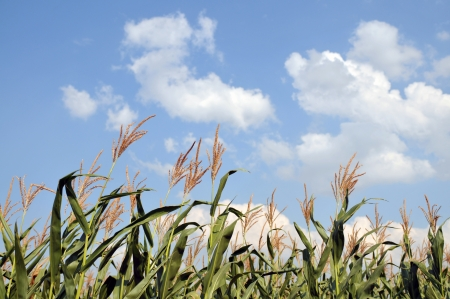 Stalks of corn against the clear summer sky photo