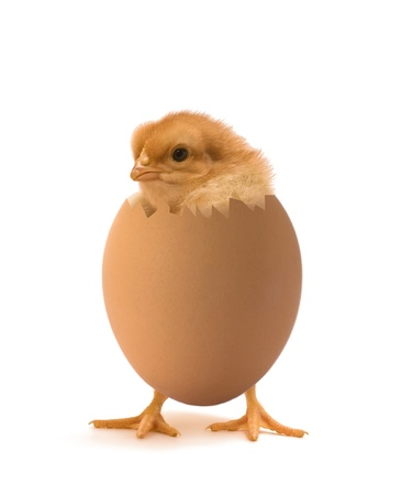 cock duck: chicken coming out of a brown egg