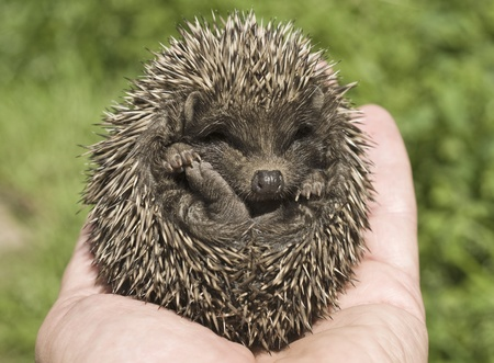 Small hedgehog who is in a hand of the person