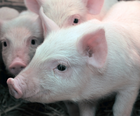 Pigs who are photographed on one of farms  photo