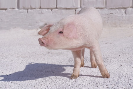 Pig who are photographed on one of farms photo